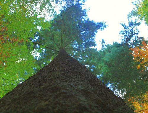Die Ernte von Deutschlands höchstem Maibaum